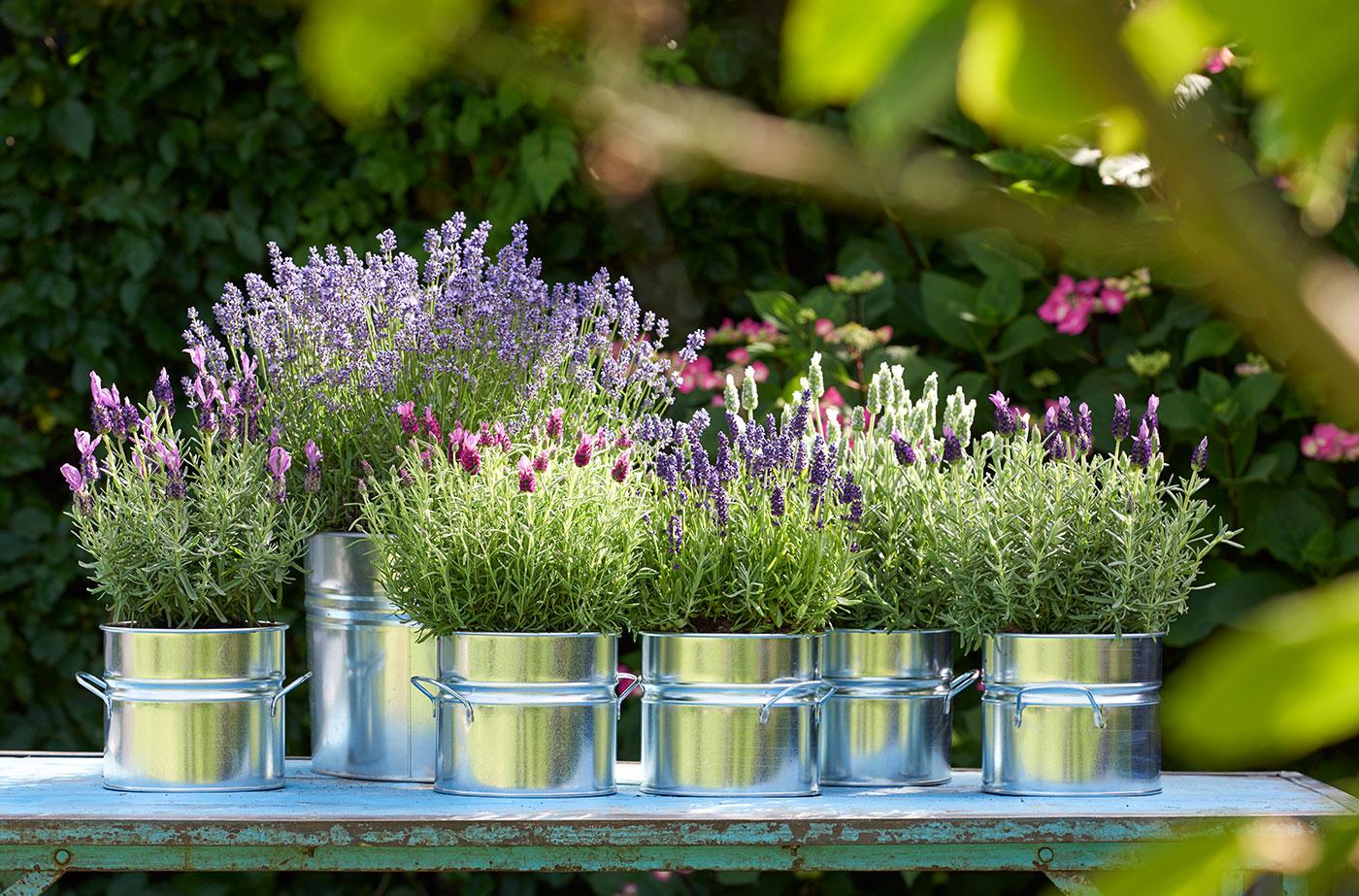 Lavendel in Töpfen
